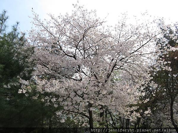 汝矣島國會議事堂公園的櫻花