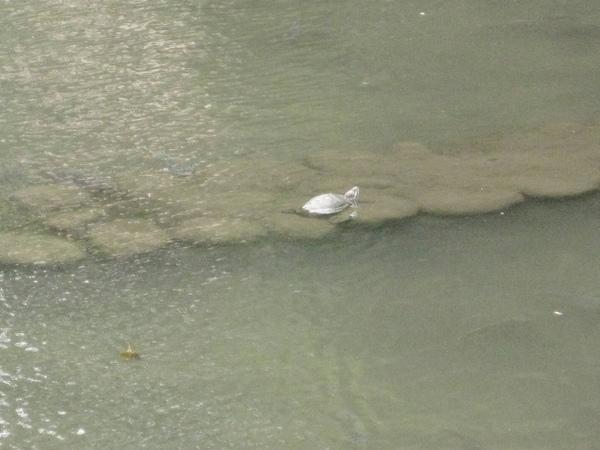 護城河-曬太陽的烏龜