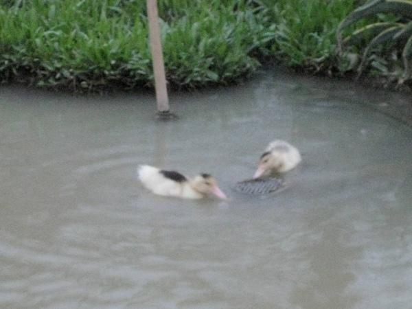 鴨子下水~~