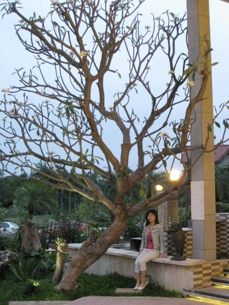 Villa Spa門口的樹也很特別