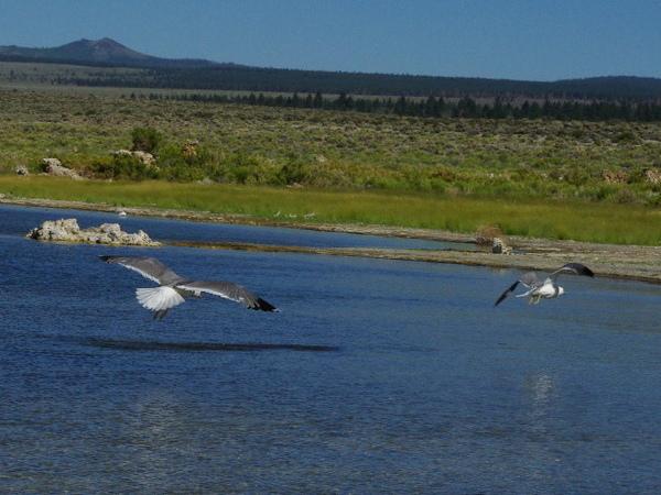 Mono Lake_gull 2.jpg