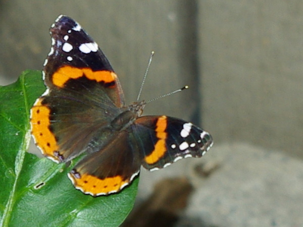 Red Admiral_2.jpg