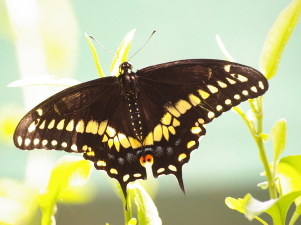 Black Swallowtail_1.jpg