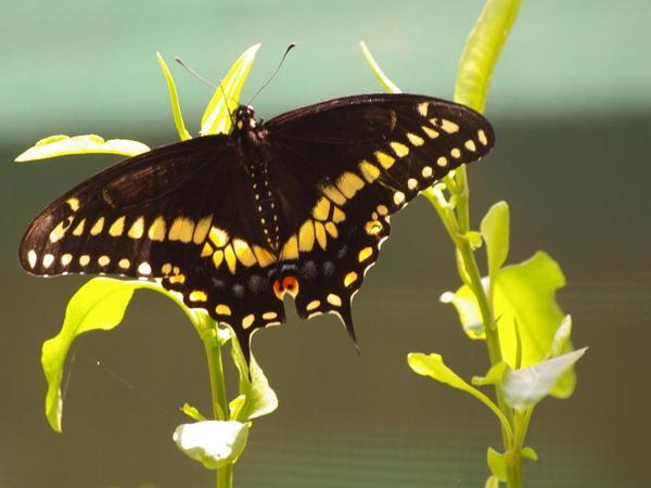 Black Swallowtail_2.jpg
