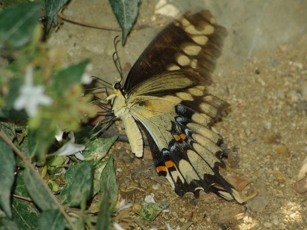 Giant Swallowtail_1.jpg