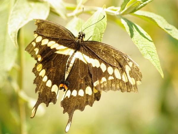 Giant Swallowtail_2.jpg