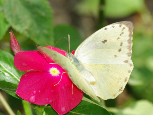 Great Southern White.jpg