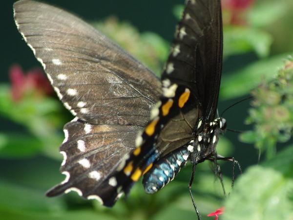 Pipevine Swallowtail_1.jpg