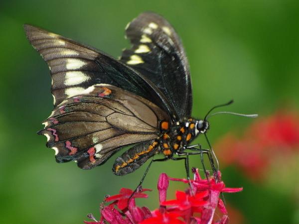 Polydamus Swallowtail.jpg