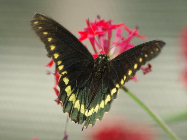Polydamus Swallowtail_2.jpg