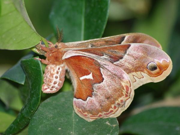 Promethea Moth.jpg