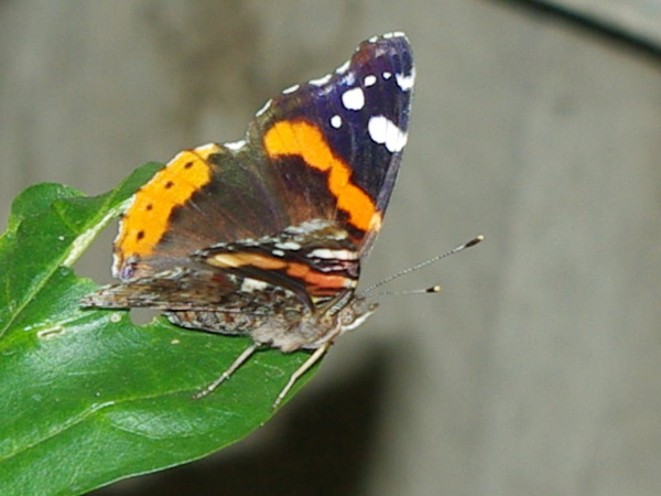 Red Admiral_1.jpg