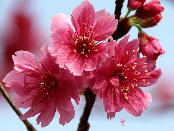 cherry13.JPG