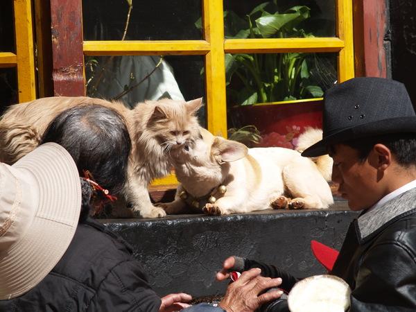 小昭寺售票口的狗舔貓