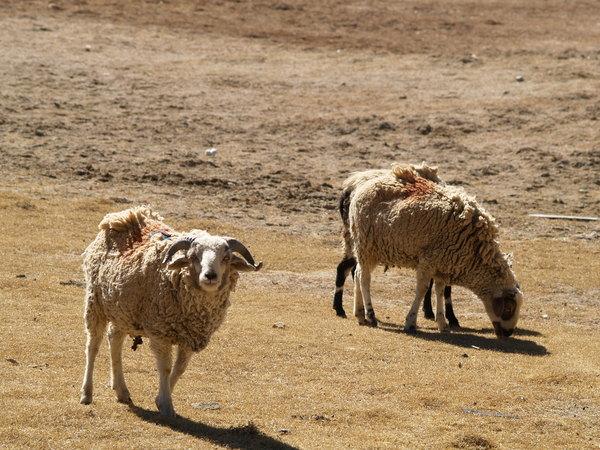 羊卓庸措邊上的羊抬頭