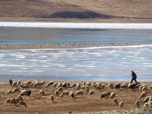 羊卓庸措邊上的牧羊人
