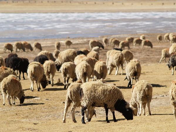 羊卓庸措邊上的羊群