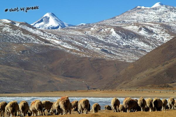 羊群-在羊卓雍措