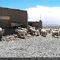 20150918-3羊群 (2).jpg