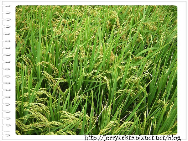 稻3.jpg
