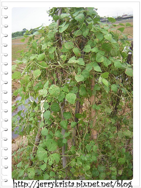 green nuts.jpg