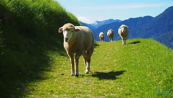 清境農場_羊1