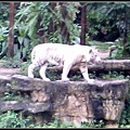很帅的白老虎