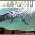 超大超懒的鳄鱼