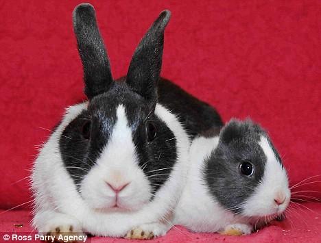 兩隻兔子來拜年