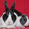 普通兔子與無耳兔