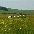 綿羊就在身邊~