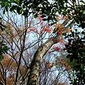 紅紅的葉子