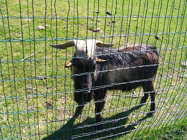 7 chèvre