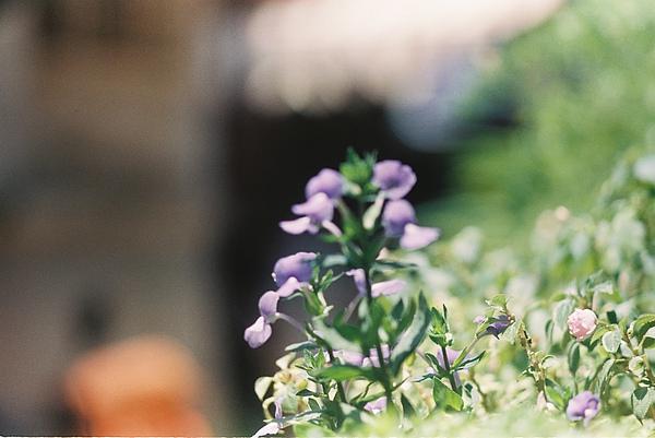 安平的花兒