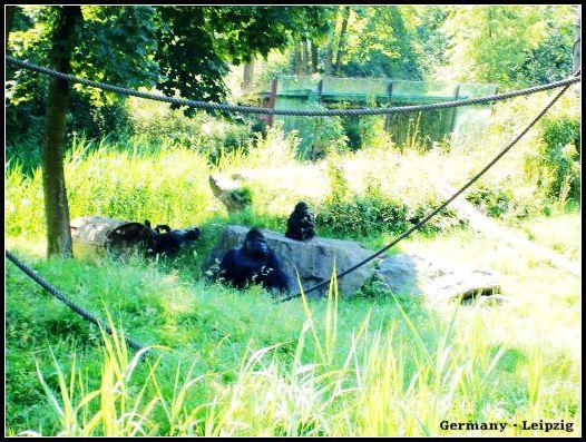 Zoo_gorilla2.jpg