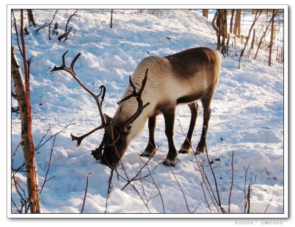 Kiruna_D1_deer1.jpg
