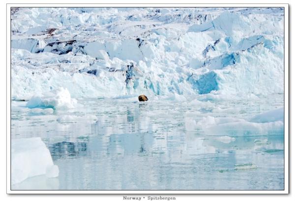 Spitsbergen_walrus1.jpg