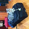 出發前貓兒子霸佔旅行箱1