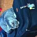 出發前貓兒子霸佔旅行箱2