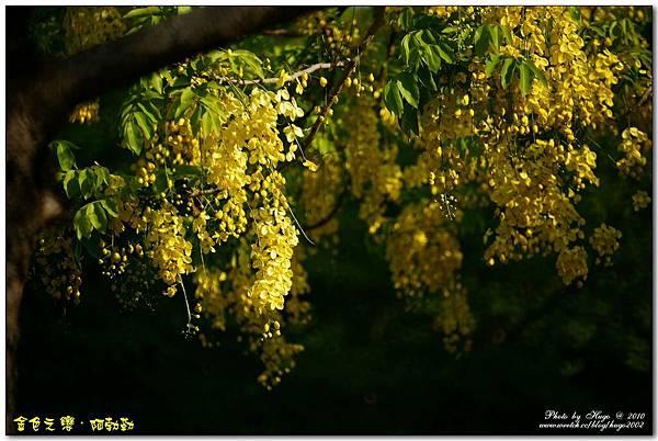 燦爛黃金雨金色之鍊(戀)阿勃勒