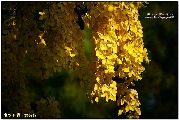 燦爛黃金雨金色之鍊 (10)