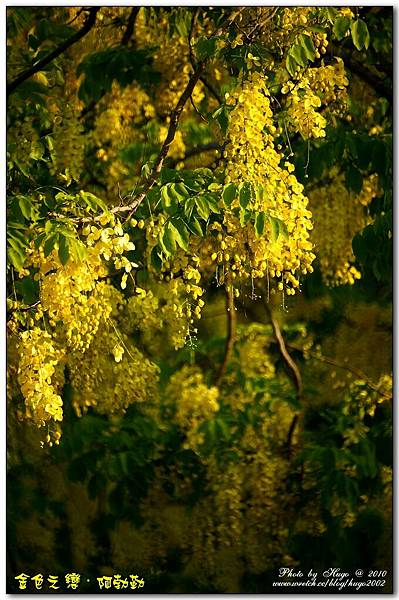 燦爛黃金雨金色之鍊 (11)