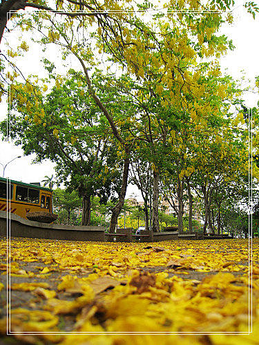 燦爛黃金雨金色之鍊 (13)