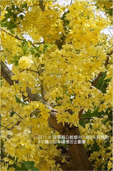 燦爛黃金雨金色之鍊 (14)