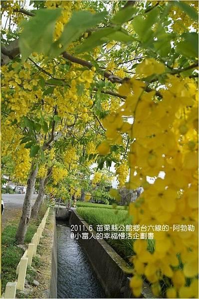 燦爛黃金雨金色之鍊 (15)