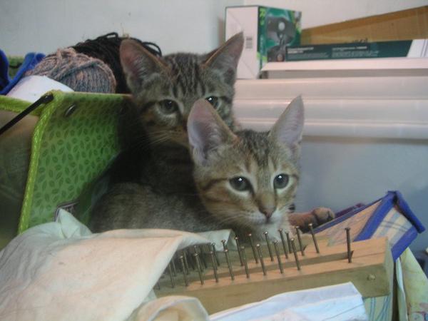 小貓送養圖片1.jpg