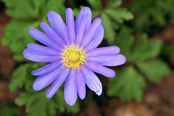 希臘銀蓮花