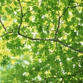陽光樹葉.jpg