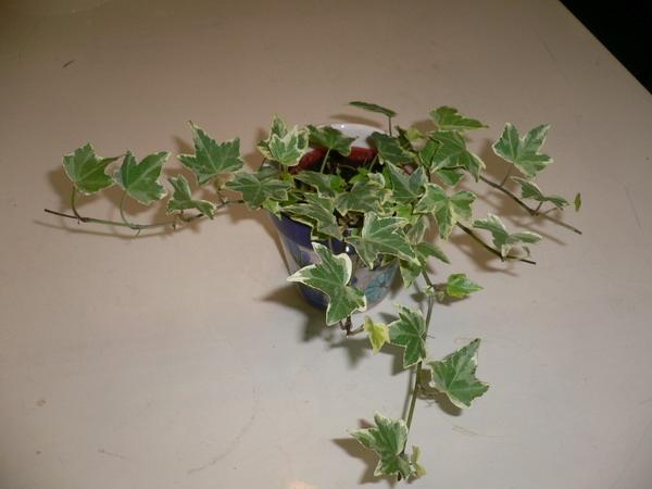 長春藤,辦公室植物.JPG
