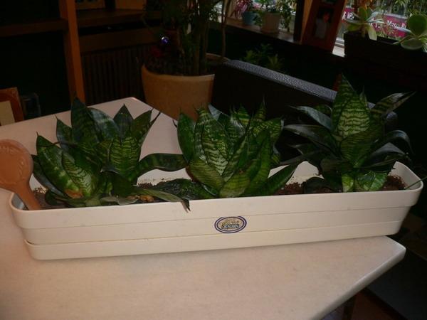 虎尾蘭,辦公室植物.JPG